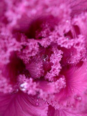 Brassica oleracea var_001
