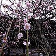 天龍寺の枝垂れ梅