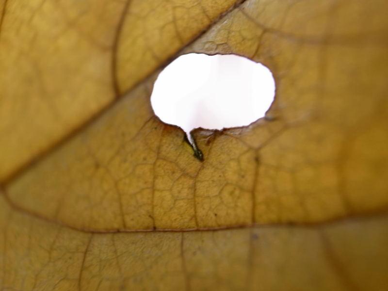 蝋梅の葉 ふきだし