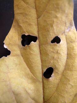 蝋梅の葉 かお