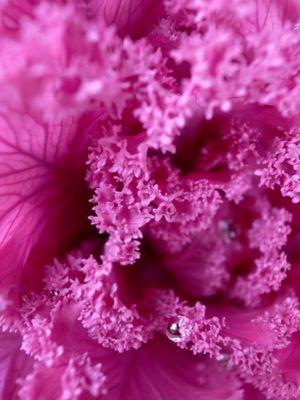 Brassica oleracea var_002