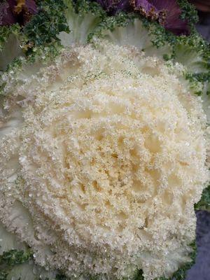 Brassica oleracea var_006