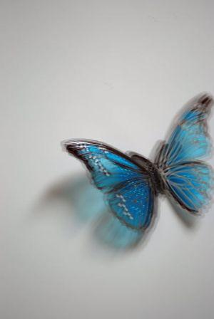 Swallowtail ①