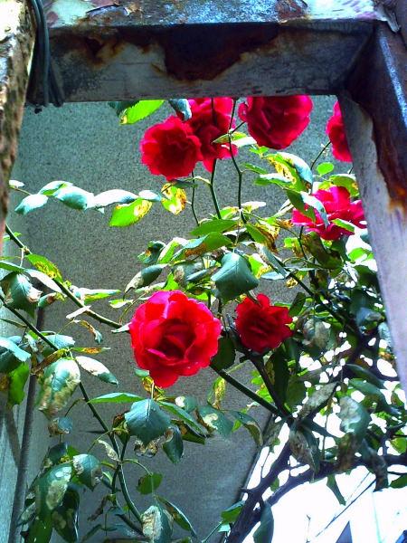おじさんの薔薇