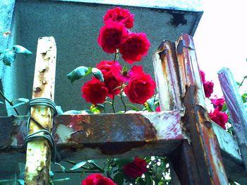 おじさんの薔薇②