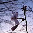 桜2010④
