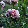 薔薇園へ 4