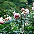 薔薇園へ 8