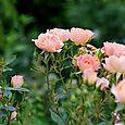 薔薇園へ 10