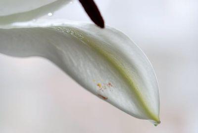 白ユリ (3)