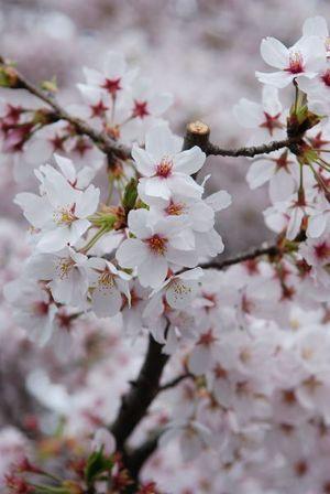 桜2011 (5)
