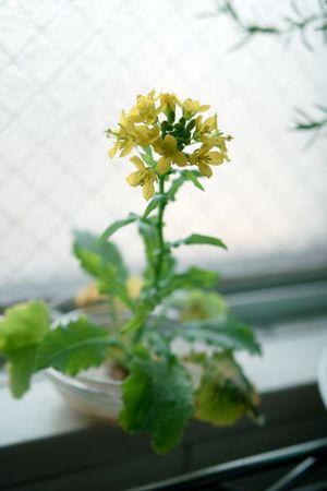 カブ菜の花