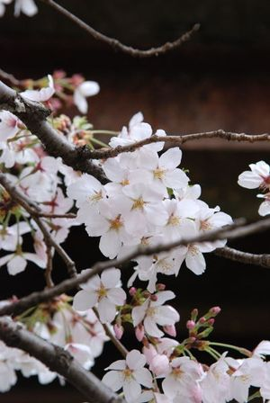 桜2011 (4)
