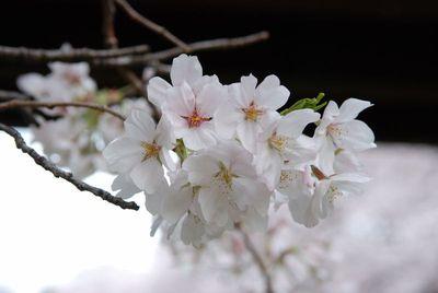 桜2011 (3)