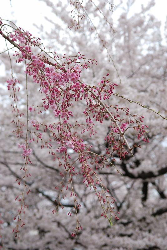 枝垂れ桜2011