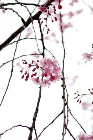 枝垂れ桜2011 (4)
