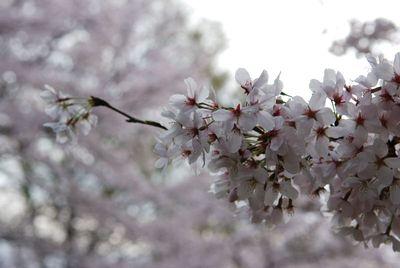 桜2011 (2)
