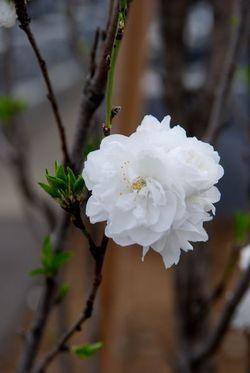 桜2011 (9)