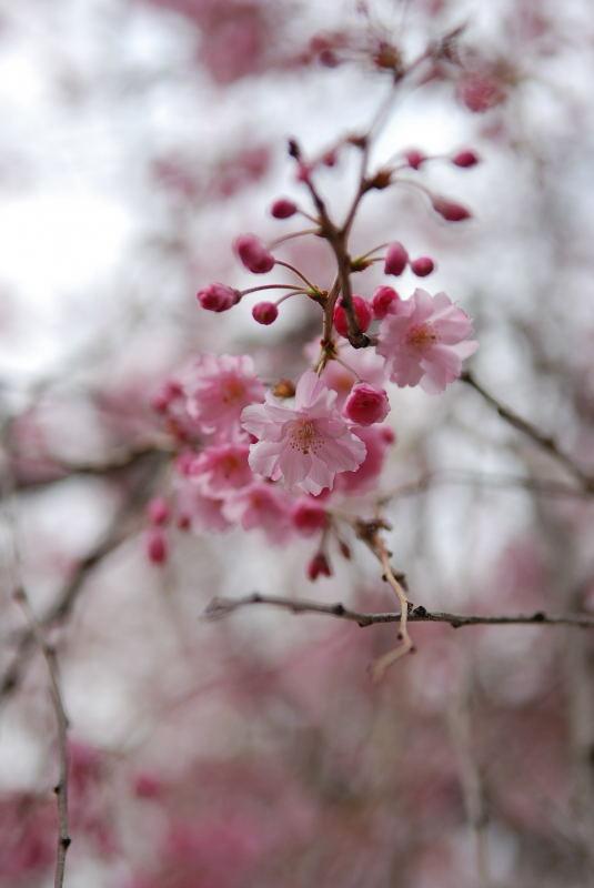 枝垂れ桜2011 (2)