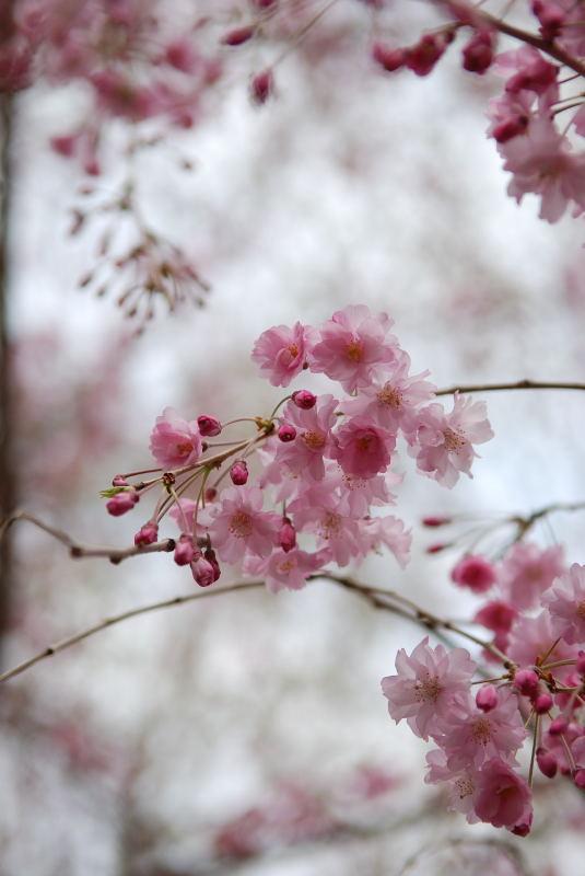 枝垂れ桜2011 (3)