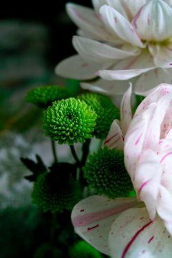 ダリアと菊