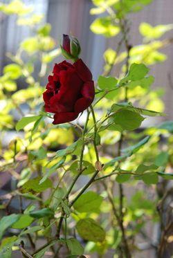 薔薇と鉄線