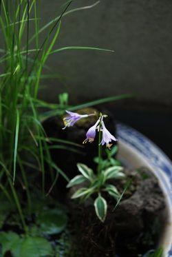 斑入りヒメギボウシ