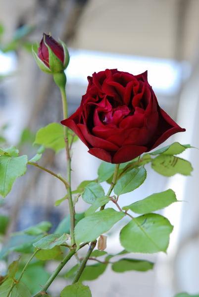 薔薇と鉄線 (2)