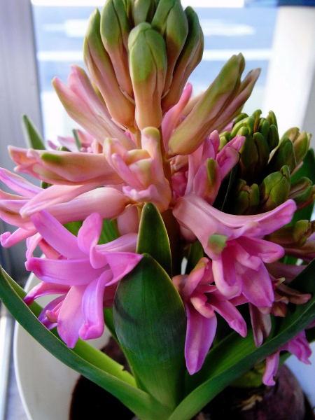 Hyacinth (10)