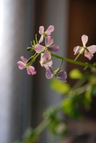 聖護院大根の花 (2)