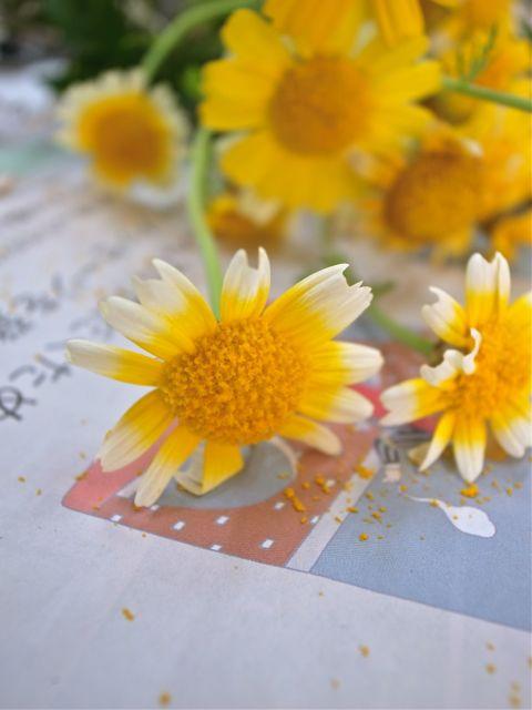 春菊の花3