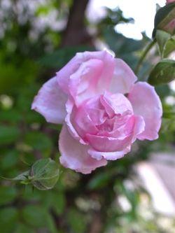 ミニ薔薇3