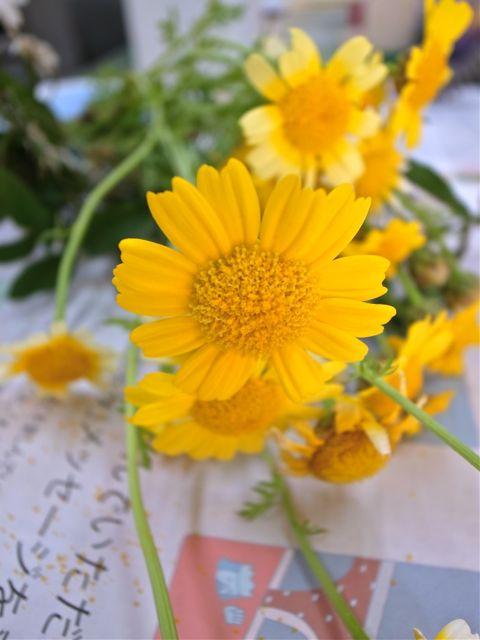 春菊の花4