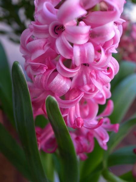Hyacinth (3)