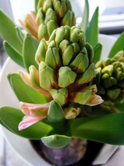 Hyacinth (9)