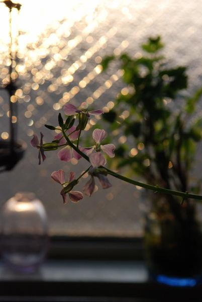 聖護院大根の花 (3)