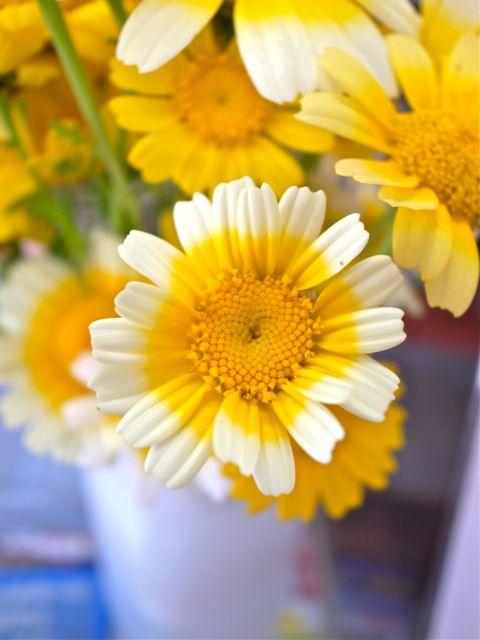 春菊の花1
