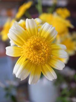 春菊の花2