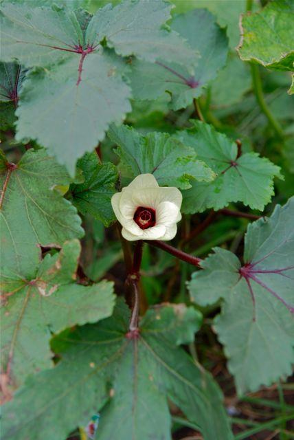島オクラ「島の恋」の花