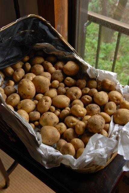 収穫後のジャガイモ