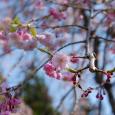 2017年の桜-2