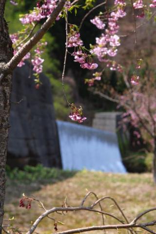 2017年の桜-6