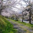 2017年の桜-4