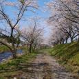 2017年の桜-5