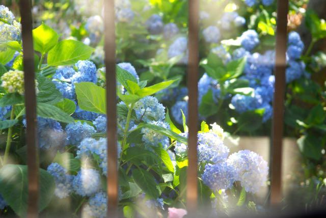 紫陽花の庭 - 1