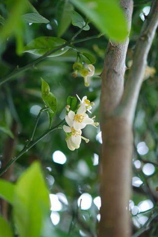 獅子柚子の花?