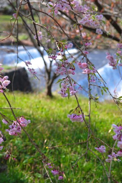 2017年の桜-3
