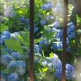 紫陽花の庭 - 2