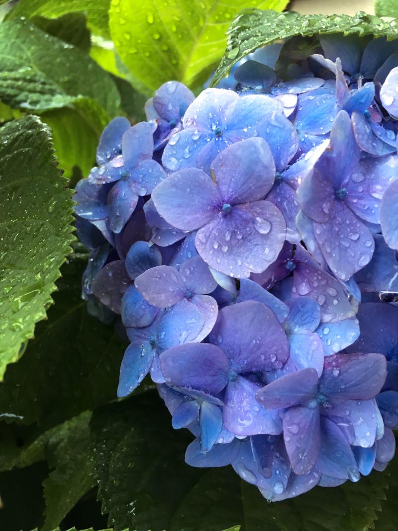 紫陽花の青に