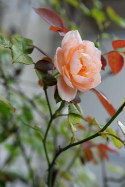 Roses008